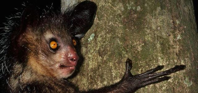 Мадагаскарска ръконожка